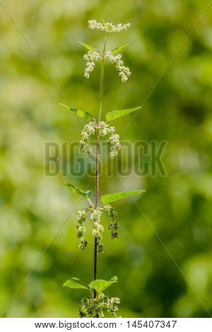Nettle With White Flowers