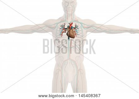 Human anatomy x-ray view of circulatory system, showing heart and outline of body on plain background. augmented reality. 3d illustration