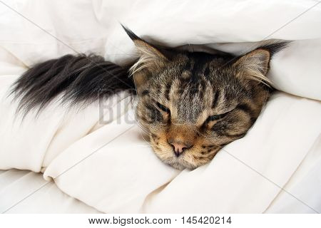 Brown Tabby Maine Coon cat who is feeling sick ill tired cold or could be dying is hiding in between 2 layers of duvet on the bed.