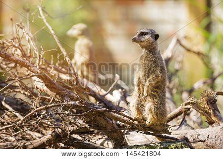 meerkat suricate standing on a tree branch