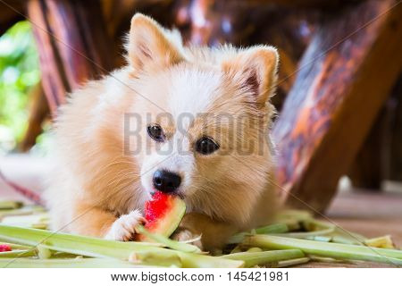 Brown cute dog eating watermelon with gusto.