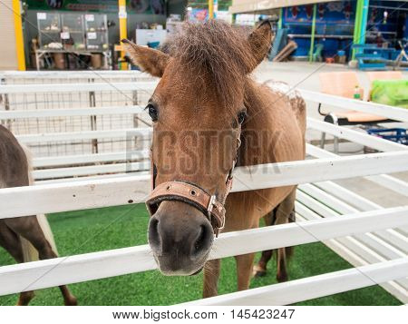 Dwarf Horses Stabled In The Animal Markets.