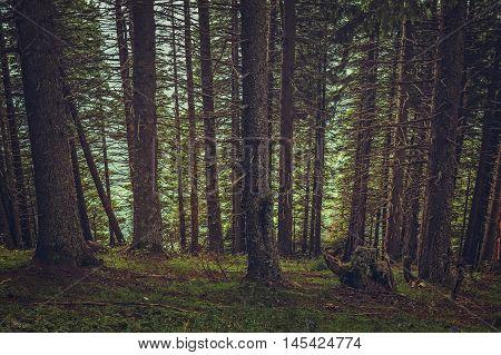 Shady Spruce Forest