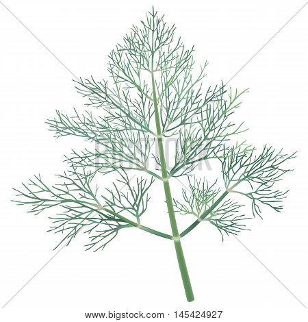 Culinary herbs - Dill. Hand drawn vector illustration of fresh dill on transparent background.