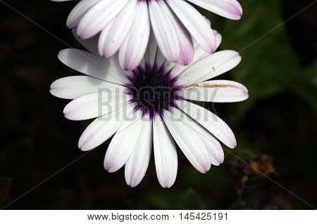 Flowers of a white Cape marguerite (Dimorphotheca ecklonis)