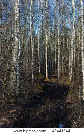 Dirt Rural Road Season Ruts, Wild Early Spring Mire, March Birch Tree Forest, Dirty Muddy Heavy Vehicle Tracks, Large Detailed Vertical Birches Landscape Scene, Impassable Village Country Woods, Countryside Rough Terrain, Bad Roads Mud Off-road, Ice-cover