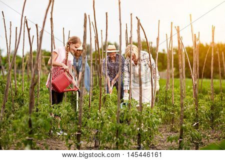 Diligent family working in garden in season of picking tomatoes