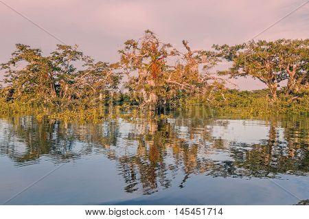 Mangroves Trees Growing In Amazonian Forest National Park Cuyabeno South America