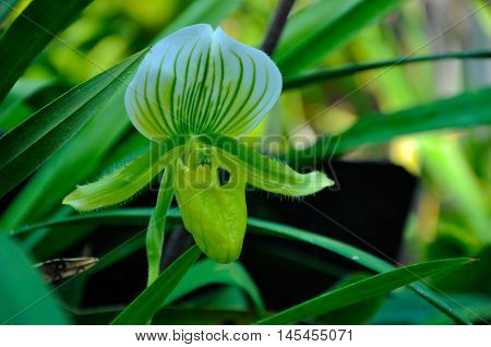 Tropical Pitcher Plant (Nepenthes or Monkey Cup)