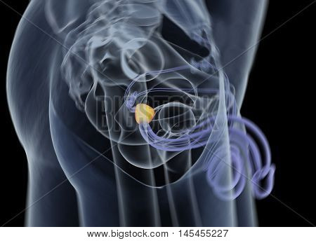 Prostate gland. Male reproductive and urinary systems. Anatomy. 3d illustration