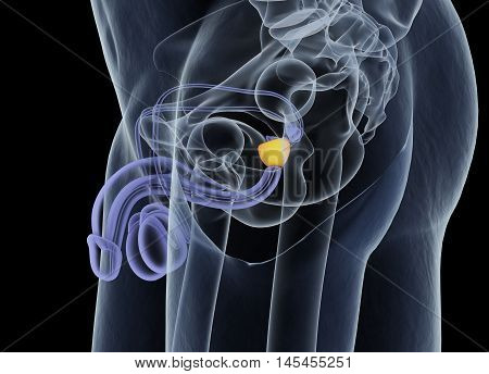 Prostate gland. Male reproductive and urinary systems. Anatomy. 3d illustration poster