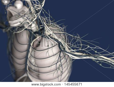Lungs, torso, lymph nodes, nervous system, vascular system, human anatomy. 3d illustration