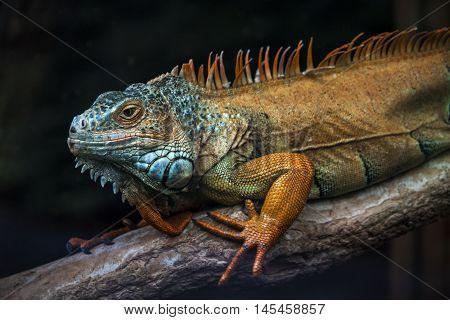 Varanus Animal Wildlife Exotic Reptile Nature Impression