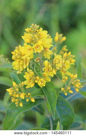 Blossoming Plant Lysimachia Vulgaris (garden Loosestrife)