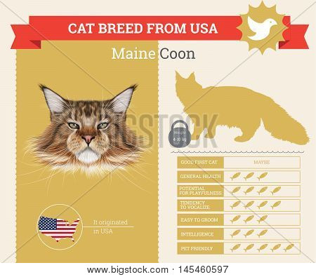 Maine Coon Cat breed vector infographics. This cat breed from USA