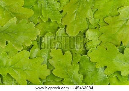 Fresh Green Oak Leaf Background. Abstract. Wallpaper
