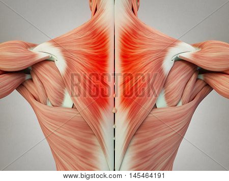 Human anatomy torso back, shoulder, neck muscles, pain. 3D Illustration.