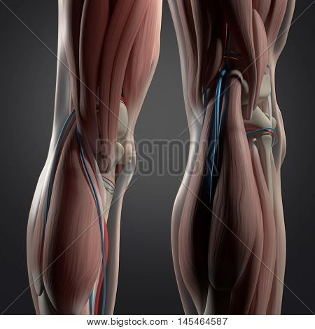 Human anatomy. Back of legs, calf muscles, knees. 3d illustration.