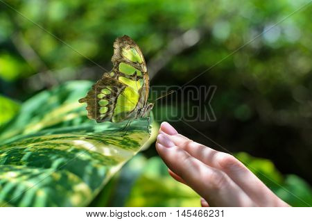 Close-up woman's hand reaching to touch beautiful colorful grey and green butterfly sitting on plant in tropics love nature and peace concept photo