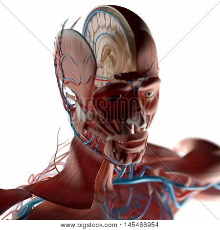 Human anatomy, inside of brain cross section. 3D Illustration.