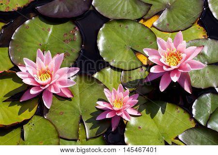 Pink Water lilies flowering between green lilypads