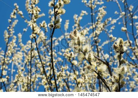 Spring natural background - yellow buds of Salix caprea goat willow. Flowering goat willow (Salix caprea) in spring