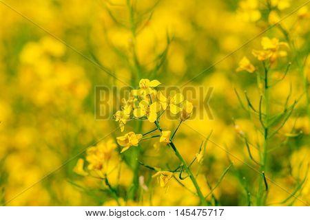 Rape flower close up right in the rape field