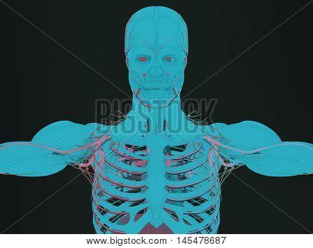 Anatomy muscle, human body, rib cage. Upper body. 3d illustration