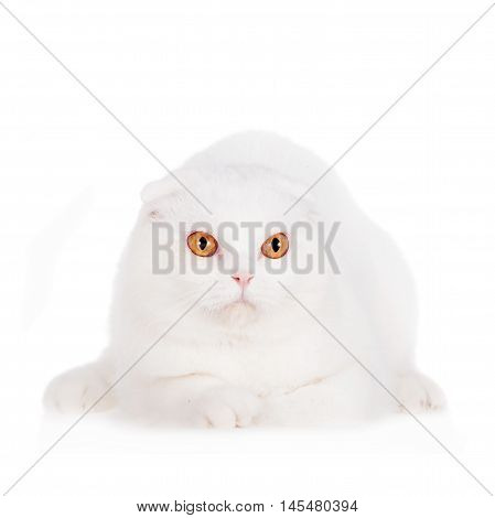 Scottish Fold cat isolated on white background