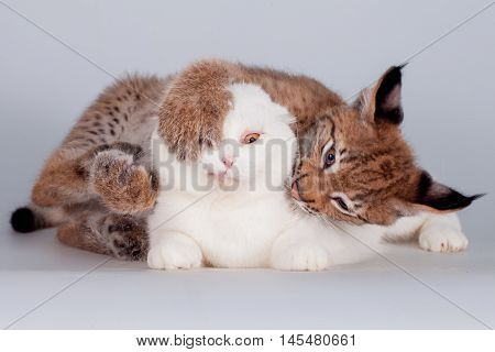 Eurasian Lynx cub playing with scottish fold cat on white