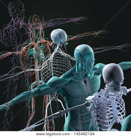 Human anatomy exploded view, deconstructed, layers. Separate elements muscle, bone, organs, nervous system, lymphatic system, vascular system. 3d illustration