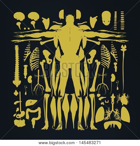 Human anatomy flat lay illustration of body parts. Exploded view, deconstructed layers dissected.