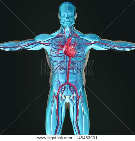 Human anatomy lungs. Male torso front lungs. Vibrant colors. 3D futuristic scan technology with xray-like view of human body. 3d illustration