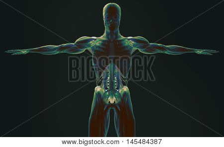 Human anatomy , back-lit, 3D futuristic scan technology with xray-like view of human body. Torso and skeleton front. Vibrant colors. Xray-like. 3d i illustration, professional lighting, plain background