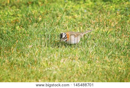 rufous-collared sparrow perched on the grass field