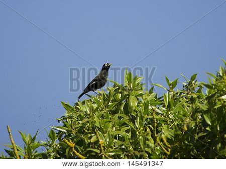 Spectacled tyrant  bird perched on a bush