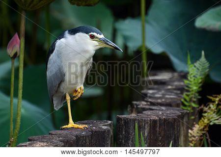 Adult black-crowned night heron hunting for food in lotus pond at Taipei Botanical Garden