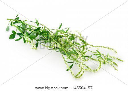 White sweet clover (Melilotus officinalis) wild flower