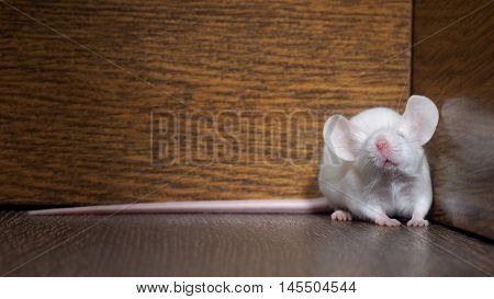 White mouse with red eyes sitting on the floor. Very long pink tail rodent. Funny nose