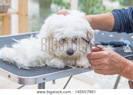 Grooming the head of white Maltese dog by scissors. The dog is laying next to the pile of hair on the grooming table.
