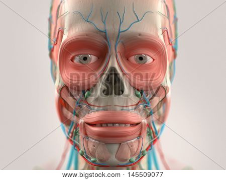 Human anatomy face and head close-up showing parts of skull, eyes, muscular system lips, vascular system on a light background. 3D illustration