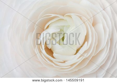 Closeup of peach ranunculus for abstract background, beautiful spring flower. Wedding floral pattern, macro shallow DOF.