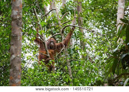 Female orangutan with a baby hanging on a tree in Semenggoh Nature Reserve, Sarawak, Borneo, Malaysia