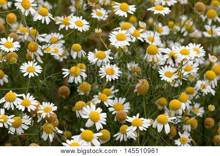 Shot of the meadow of German chamomile - medicinal herb