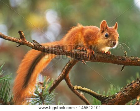 Red Squirrel On The Tree. Sciurus Vulgaris.