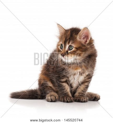 Cute fluffy siberian kitten isolated on white background