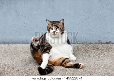 fat street cat sitting at a house wall .
