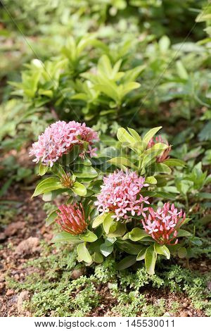 spike flower or Pink ixora flowers bloom on tree in the public gardenTropical plants Flowering throughout year.