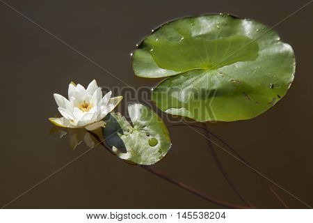 Nymphaea Tetragona Pygmy Waterlily