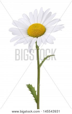 Daisy close-up isolated on white background, macro shot.